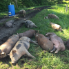 Whatcom County Farm Tour: Two days of fun Sept. 8-9
