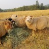 Lydia's Flock: The joys of raising sheep