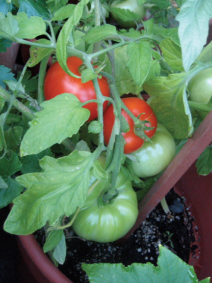 Best Tomatoes Tips For Growing A Nw Favorite Grow Northwest