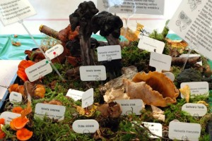 One of the many mushroom displays at a past Northwest Mushroomers Association show. PHOTO BY RICHARD STICKEL