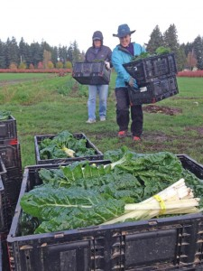 Collecting chard.  PHOTO COURTESY OF MIKE COHEN