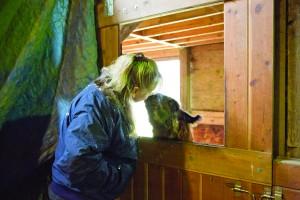 Niki Kuklenski of JNK Llama Farm in Bellingham gets a llama kiss. PHOTO BY JESSAMYN TUTTLE