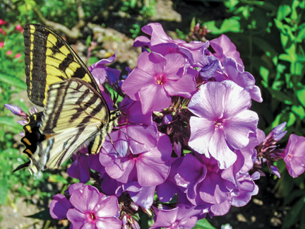 Butterflies Are Attracted To Damp Areas Such As Dripping Faucets And Spring  Puddles And Brightly Colored