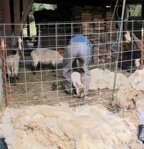 Sheep shearing at a neighbor's farm in Arlington. PHOTO BY LAURA DAMRON