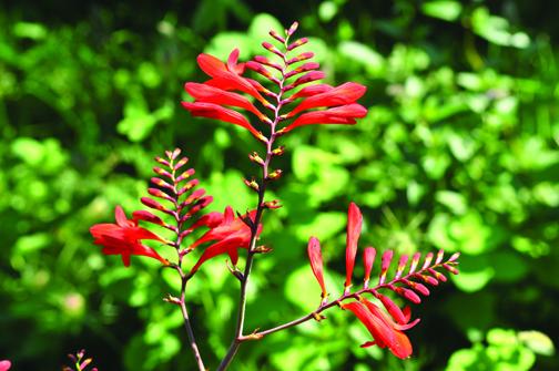 Hardy Perennials Ten Flowers To Grow Grow Northwest