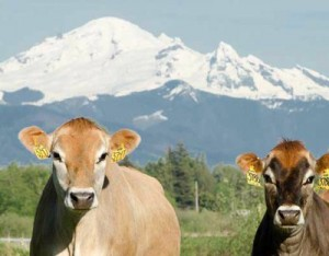 Dairies and cheese makers on this year's farm tour include the Cheese Shop at Appel Family Farm in Ferndale (above), Twin Brook Creamery in Lynden, Ferndale Farmstead (below), and Myshan Dairy. COURTESY PHOTOS