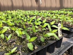 The greenhouse is full, including basque pepper starts. PHOTO BY MARY VERMILLLION