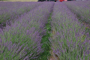 Phenomenal Lavender. Photo courtesy of Blooming Nursery