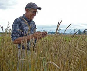 Dr. Stephen Jones looks over the test fields. In addition to finding wheat and grain varieties that thrive in the Valley's maritime climate, Bread Lab researchers are working with businesses to rebuild the grain economy. Photo by Kim Binczewski
