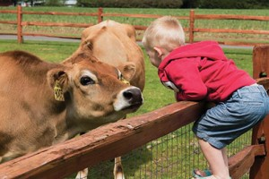 A young visitor meets the cows at Appel Farms. COURTESY PHOTO