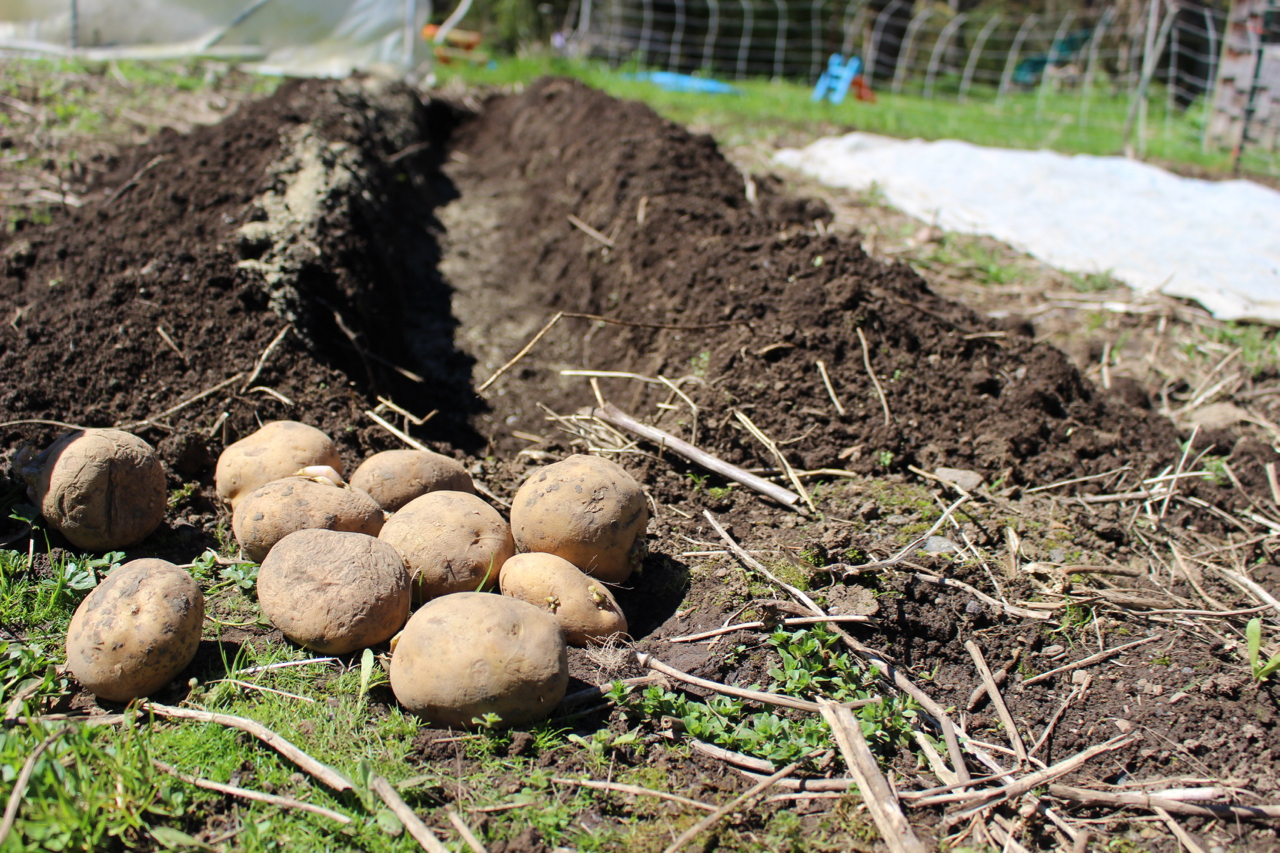 Growing Potatoes The Eyes Of March Grow Northwest