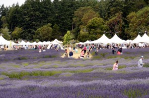 Take to the lavender fields at the San Juan Island Lavender Festival at Pelindaba Lavender. COURTESY PHOTO