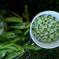 Favas, before and after shelling. PHOTO BY RIO THOMAS