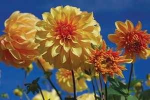 Visitors can receive a free dahlia bouquet during Dahlia Day on Sept. 29 at Hovander Homestead Park. PHOTO COURTESY OF WHATCOM MASTER GARDENERS