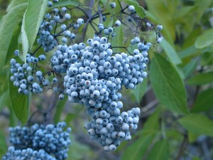 Blue elderberry. Photo by Skagit Conservation District