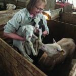 Gigi Berardi visiting the sheep during lambing season. COURTESY PHOTO