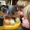 Hatching eggs: How to use an incubator