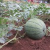 Watermelon: Helpful tips and varieties to try at home