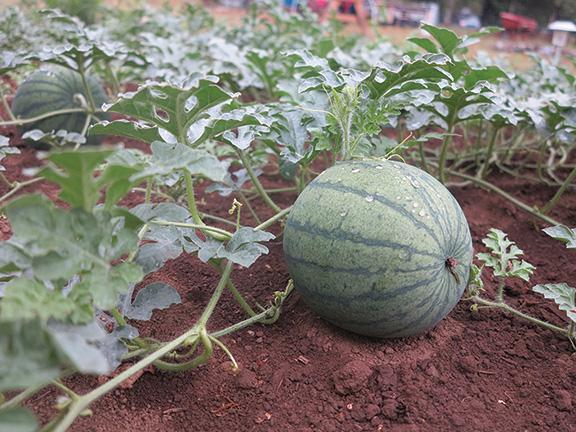 Watermelon Helpful Tips And Varieties